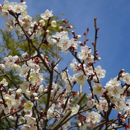 2019.01.25松山城にも梅の花が咲いています!