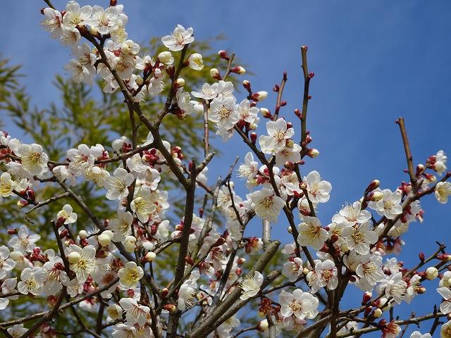 松山城梅の花