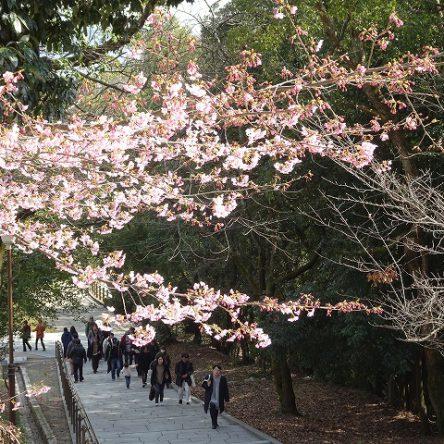 松山城に「かわづ桜」が咲いています
