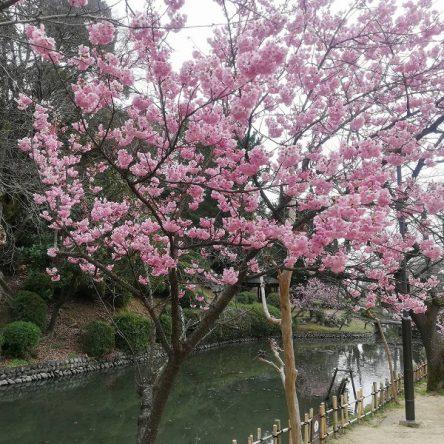 寒桜咲いています