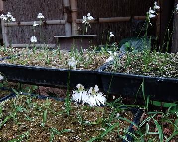 「鷺草 サギソウ」が咲いています