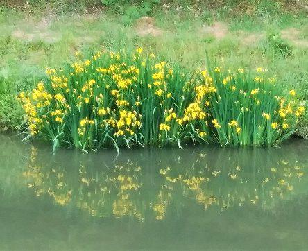 道後公園のお堀に「黄菖蒲(きしょうぶ)」が咲いています