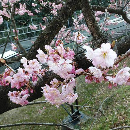 早咲きの桜が咲き始めました