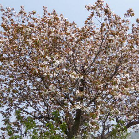 金龍桜を観に行きました♪(1)東野お茶屋跡近隣
