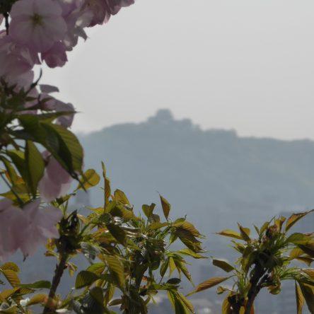 金龍桜を観に行きました♪(2)松山神社