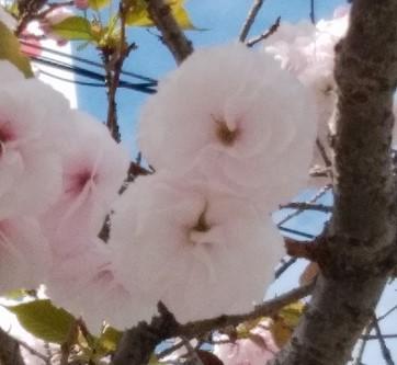 松山市内は八重桜が咲いています
