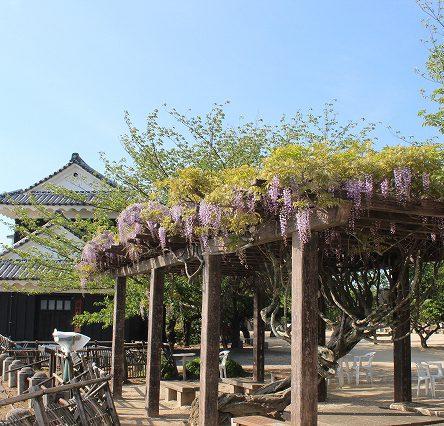 松山城はつつじ・藤が咲き始めました。